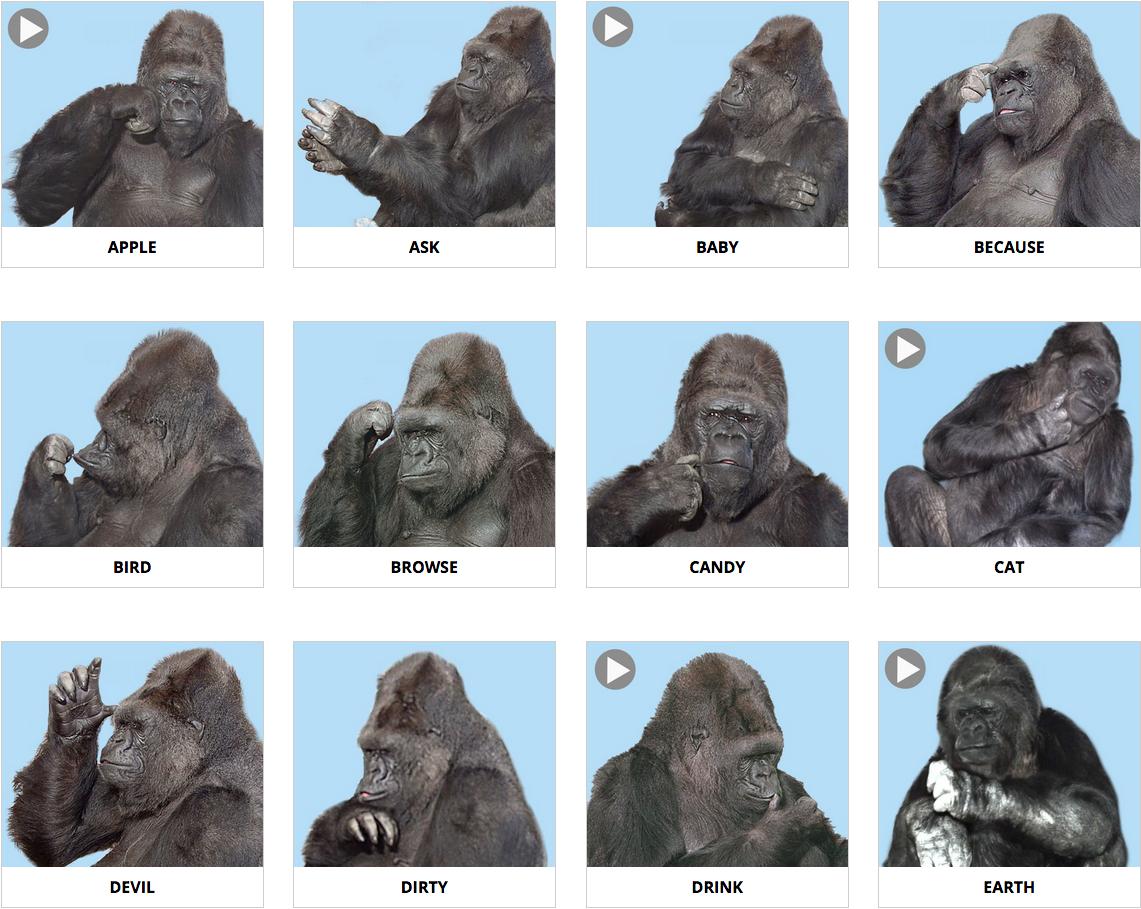 langue-des-signes-gorille